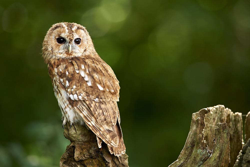 Der Waldkauz ist Vogel des Jahres 2017