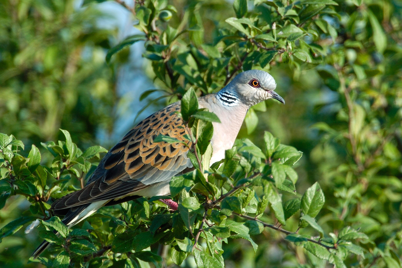 Die Turteltaube ist der Vogel des Jahres 2020